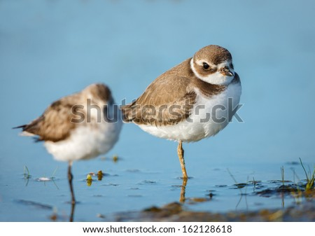Lovely pair of semipalmated plovers standing in the waters of Jamaica Bay Wildlife Refuge, Queens, New York. Both birds are quietly standing on one leg. - stock photo