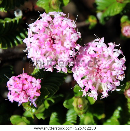 Lovely pimelea ferruginea rice flower thymelaeaceae stock photo lovely pimelea ferruginea rice flower of the thymelaeaceae family with pink flowers blooming in the coastal mightylinksfo