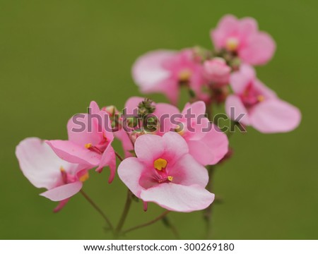 Lovely pink diascia flowers on a grean background, very shallow depth of field.
