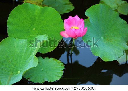 Lovely pink lotus flowers blooming among lush leaves in a pond - stock photo