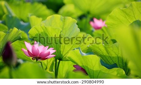 Lovely pink lotus flowers blooming among lush leaves in a pond under summer sunshine - stock photo