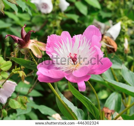 Lovely pink Peony. - stock photo