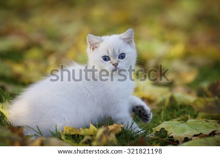 Lovely plush British kittens with blue eyes walking in yellow autumn maple leaves in Park - stock photo