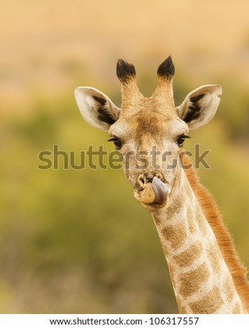 Lovely portrait image of Giraffe with tounge out