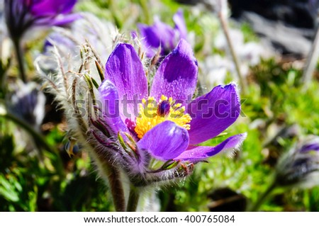 Lovely Pulsatilla in spring. Other name : pasque flower, wind flower, prairie crocus, Easter Flower and meadow anemone. Finland - stock photo