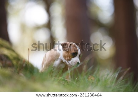 Lovely puppy exploring hunting ground, American staffordshire terrier, Dog portrait - stock photo
