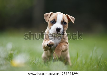 Lovely puppy exploring hunting ground, American staffordshire terrier, Dog portrait, Begging for food, Small doggie on a garden  - stock photo