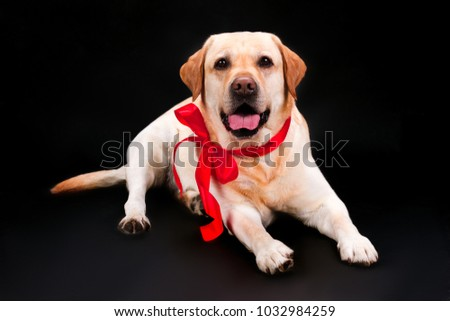 Beautiful Ribbon Bow Adorable Dog - stock-photo-lovely-puppy-labrador-with-red-bow-adorable-blonde-labrador-puppy-with-red-ribbon-lying-on-black-1032984259  2018_521739  .jpg