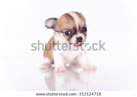 Lovely puppy of a chihuahua on a white background.