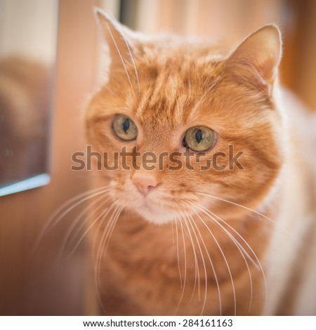 Lovely red cat looking into the camera. Soft focus on eyes.