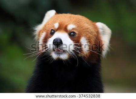lovely red panda, endangered animal, China - stock photo