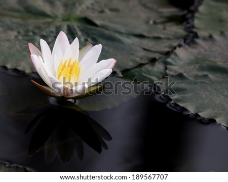 lovely romantic white yellow lotus flower with leaves floating in a smooth natural pond with reflections.