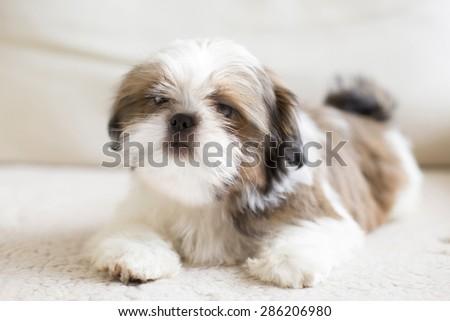 Lovely sad shih tzu puppy - full size - stock photo