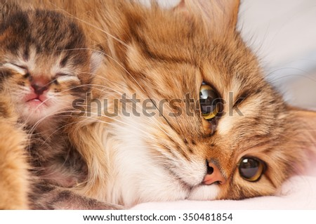 Lovely siberian cat with cute little kitten over white background - stock photo