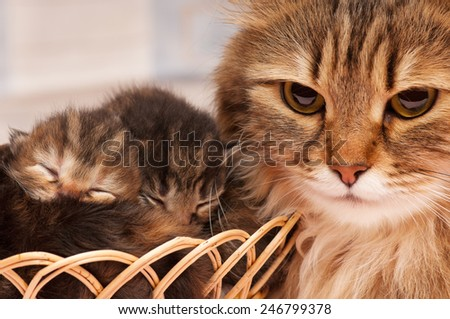 Lovely siberian cat with newborn kitten close-up - stock photo