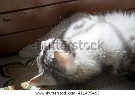 lovely spotted withe grey house-cat resting in the sun near a window