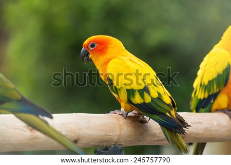 Lovely Sun Conure Parrot on the perch - stock photo