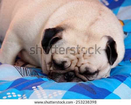 lovely white fat cute pug dog face close up lying on a big soft blue pillow outdoor making sad face under natural sunlight.