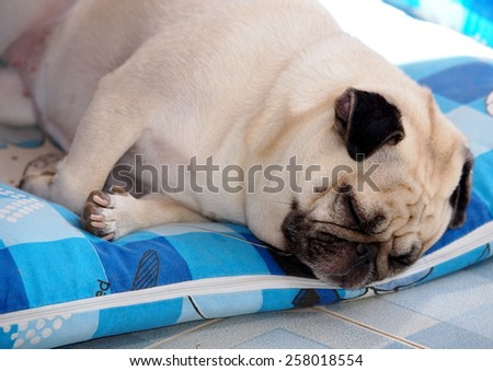 lovely white fat cute pug dog face close up lying on a big soft blue pillow outdoor making sad face under natural sunlight and country home surrounding bokeh background - stock photo