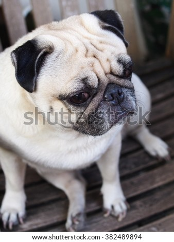 lovely white fat cute pug dog head shot close up lying on a chair making sad face looking up for something or someone to play - stock photo