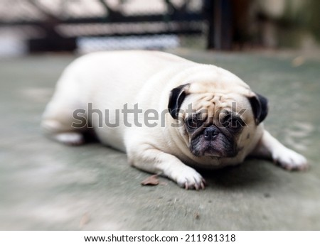 lovely white fat cute pug dog lying on the concrete floor outdoor making sad face under natural sunlight and nice green bokeh background, picture taken with Lensbaby - stock photo