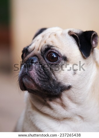 lovely white fat cute pug face head shot close up sitting on the concrete floor outdoor making funny face under natural sunlight  - stock photo