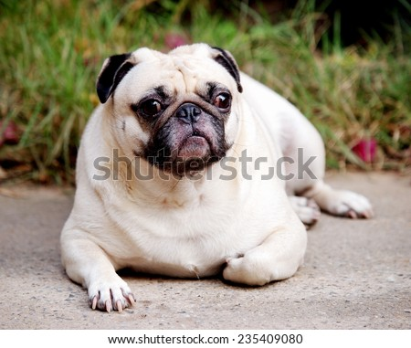 Little Fat Pug Sitting On Sidewalk Stock Photo 206851003
