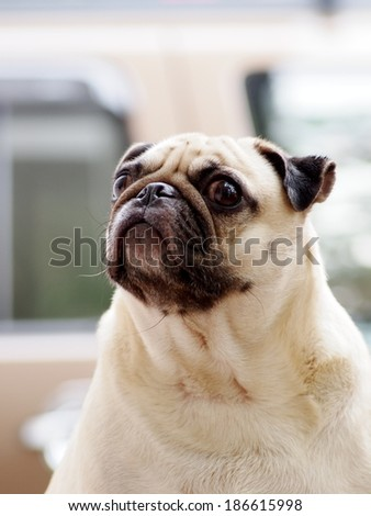 lovely white fat pug face portraits close up outdoor sitting on a table making sad face looking for friends under natural lighting and nice street bokeh background