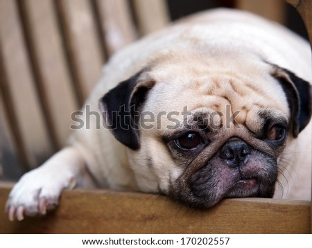lovely white fat pug head shot close up laying on a wooden chair making sad but funny face under morning light and soft tone background