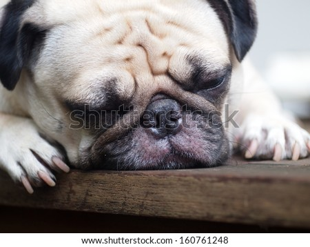 lovely white fat pug head shot close up lying on a table making sad face with eyes closed - stock photo