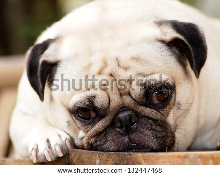 lovely white fat pug head shot close up lying on a wooden table making sad face