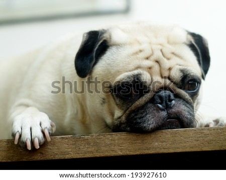 lovely white fat pug head shot close up lying on a wooden table making sad face under rim light looking at camera - stock photo