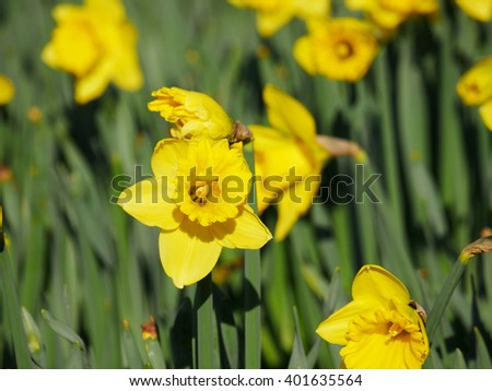 Lovely yellow daffodil flowers blooming in the spring  - stock photo