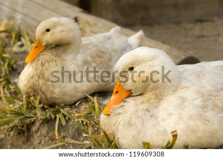 Loving duck couple.
