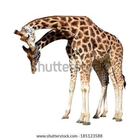 loving giraffes isolated on white background - stock photo