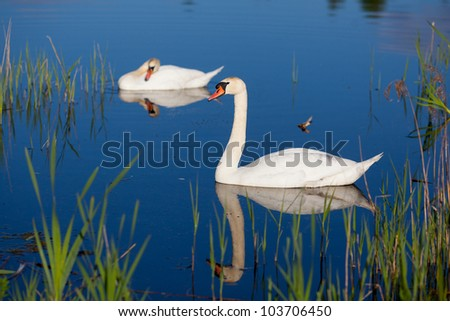 loving swans - stock photo
