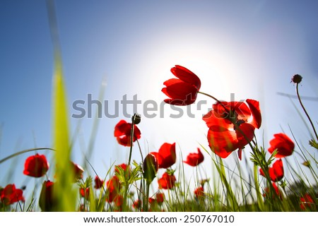 low angle photo of red poppies against sky with light burst.  - stock photo