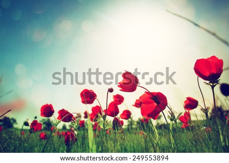 low angle photo of red poppies against sky with light burst and glitter sparkling lights  - stock photo