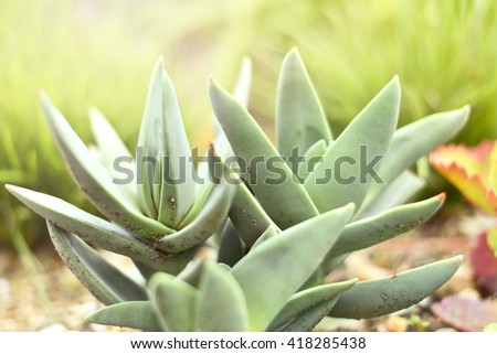 Low angle view of a succulent or agave plant in the sun with copy space. Selective focus of a desert plant with defocused background. Echeveria. - stock photo