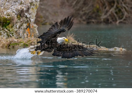 low angle view of american bald eagle in flight to grab fish from alaskan waters