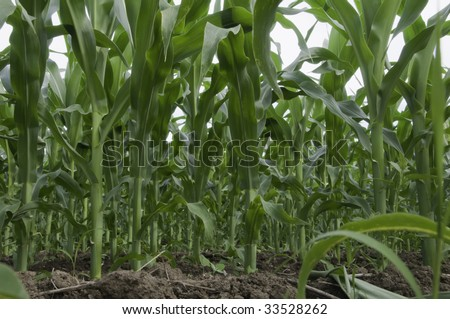 Low-angle view of corn field - stock photo