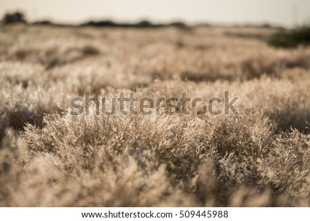 Low angle view of dead dry plants waving under the wind during Namibian hot winter season