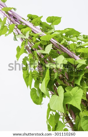 Low angle view of moonflower vine (binomial name: Ipomoea alba), also known as moon vine and tropical white morning-glory, trained on tall rods in garden, summer in northern Illinois - stock photo
