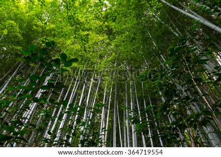 Low angle view of the canopy of tall bamboo shoots inside a bamboo forest in the ancient city of Kyoto, Japan. - stock photo