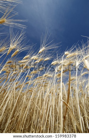 Low angle view of the ears of a cereal field - stock photo