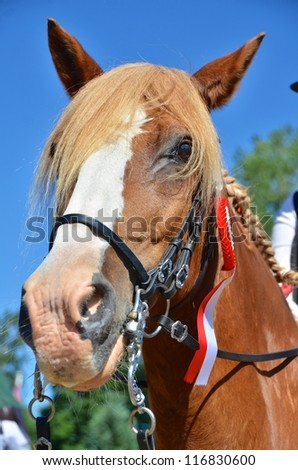 Low angle view of the nose and head of a chestnut horse with a winners rosette attached to its bridle - stock photo
