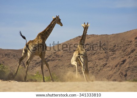 Low angle view of two running giraffes towards the desert and mountains with blue and clear sky in the background. Kaokoland, Namibia (Selective focus) - stock photo