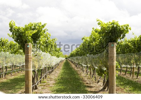 Low angle view on rows of vines at vineyard - stock photo