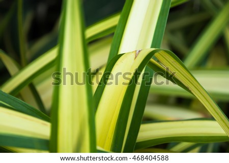 Low key lighting Nature background,  Pandanus Palm in natural light and shadow and selective focus  Pandanus Palm.