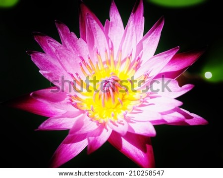 low key pink lotus with black background